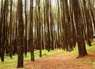Ini Dia Pesona Hutan Pinus Mangunan Seperti di Negeri Dongeng