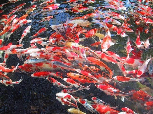 Budidaya Ikan Koi Yang Menguntungkan