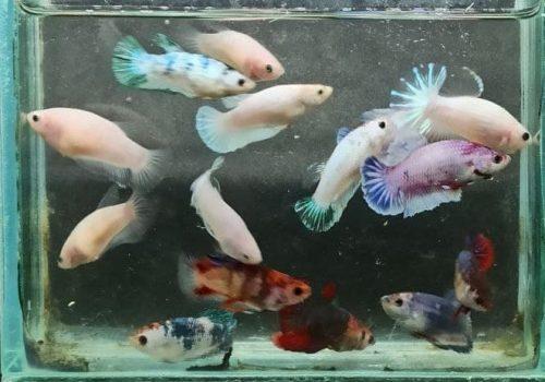 Jual Ikan cupang jogja betta fancy partaian